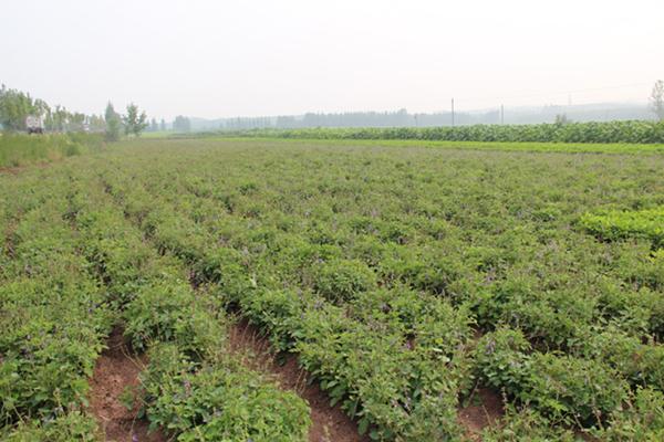 2012年7月日照援康药业丹参规范化种植2号示范基地